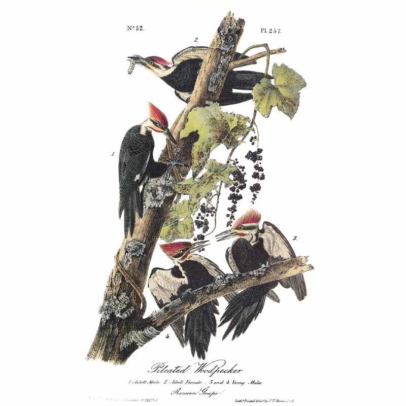 John James Audubons Birds of America 3201 11